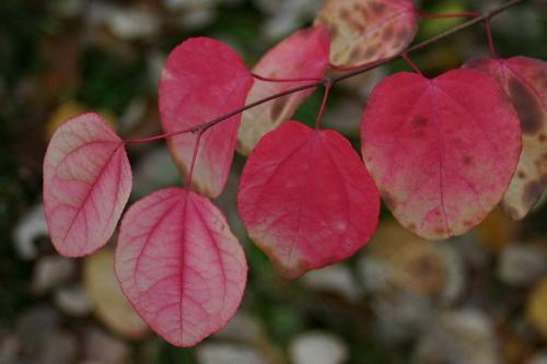 8-Cercidiphyllum-Linders-Plantskola-41526_resize