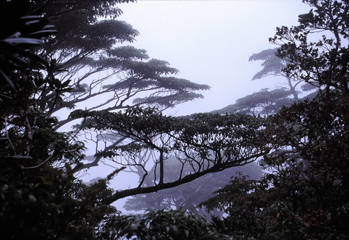 8-Linders-Plantskola-trochodendron aralioides 89-29_resize