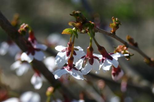 Prunus apetala