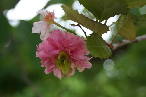 Prunus x serrulata 'Fugenzo'