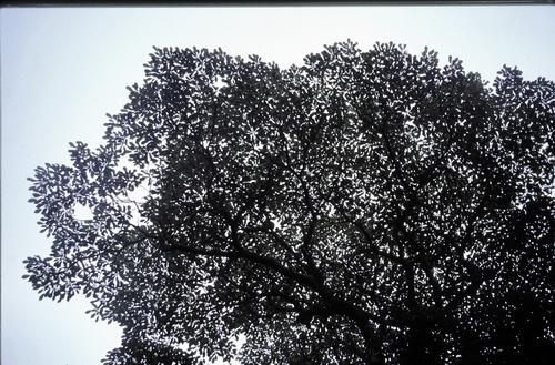 9-Linders-Plantskola-trochodendron aralioides 89-26_resize