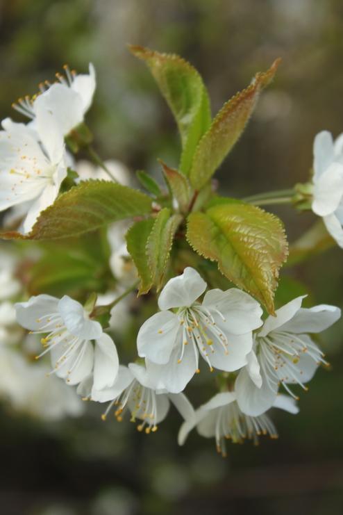 9-Prunus avium-Linders-Plantskola-Li_57345_resize