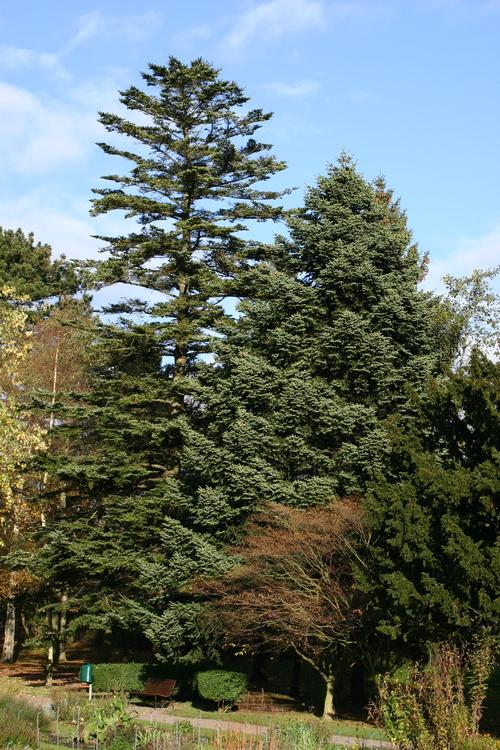 Acer-homolepis-Linders-Plantskola-7535_resize