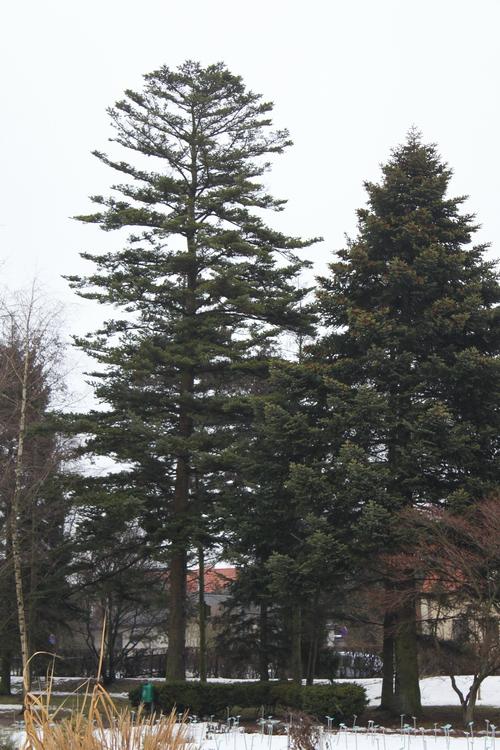 Acer-homolepis-Linders-Plantskola-Li_50979_resize