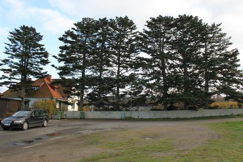 Acer-homolepis-Linders-Plantskola-Li_60668_resize