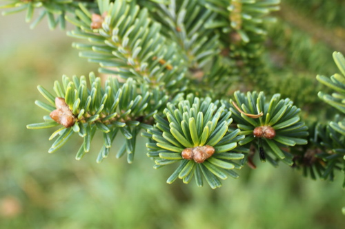 Acer-homolepis-Linders-Plantskola-Li_60674-cut_resize