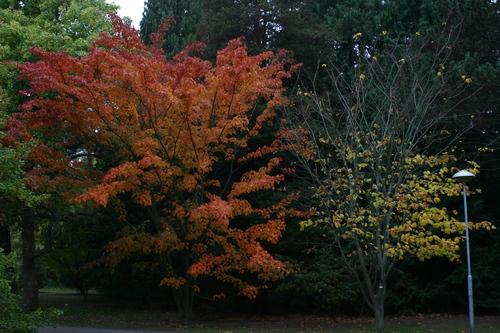 Acer capillipes och Acer pensylvanicum