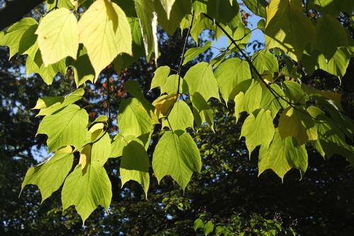 Acer-pensylvanicum-Linders-Plantskola-Li_68839_resize