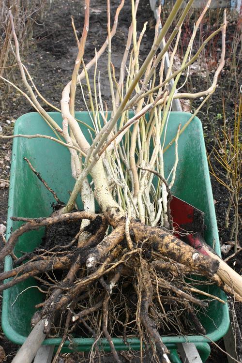 Ailanthus altissima-Linders-Plantskola-21906_resize