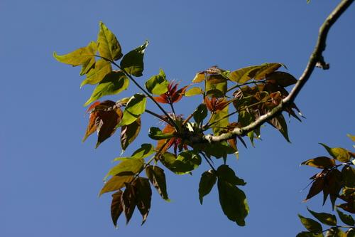 Ailanthus altissima-Linders-Plantskola-39175_resize
