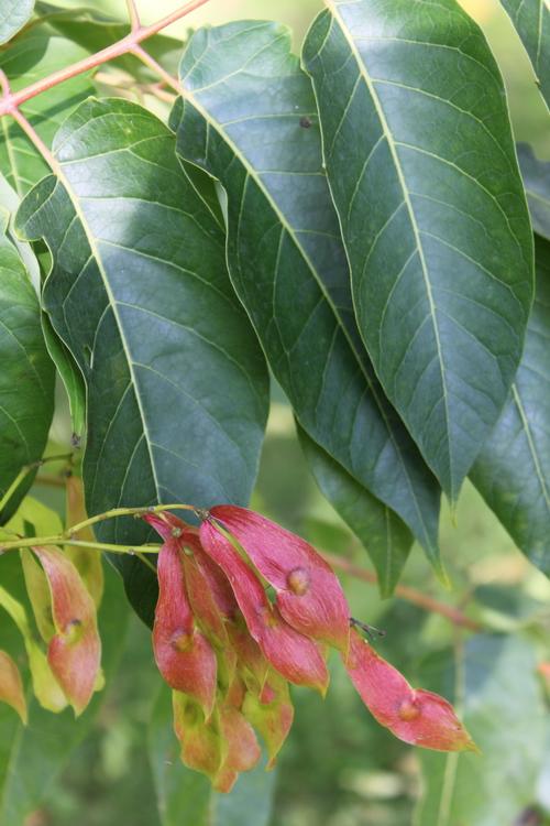 Ailanthus altissima-Linders-Plantskola-Ailanthus altissima Li_54545_resize