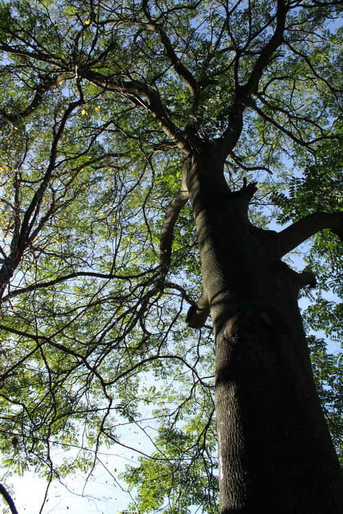 Ailanthus altissima-Linders-Plantskola-Li_60290_resize