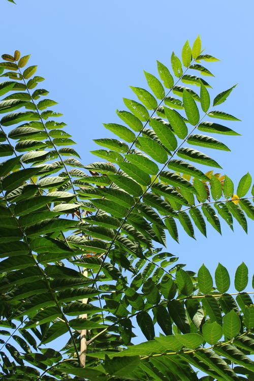 Ailanthus giraldii-Linders-Plantskola-Li_69344_resize