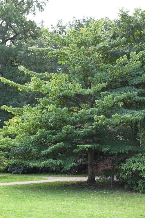 Cornus controversa-Linders-Plantskola-Li_68906_resize