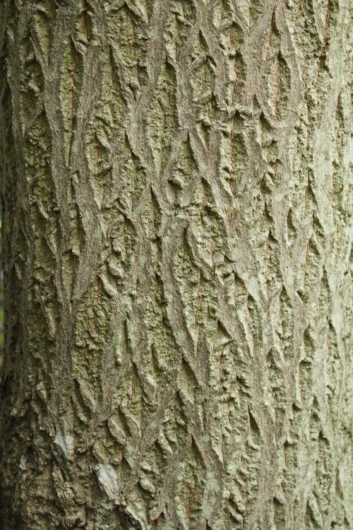 Cornus controversa-Linders-Plantskola-Li_68914_resize