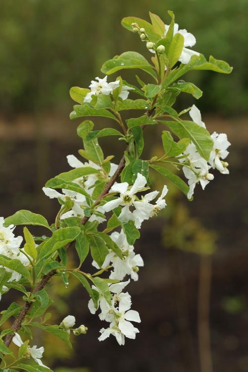 Exochorda giraldii var wilsonii Linders Plantskola Li_52831_resize