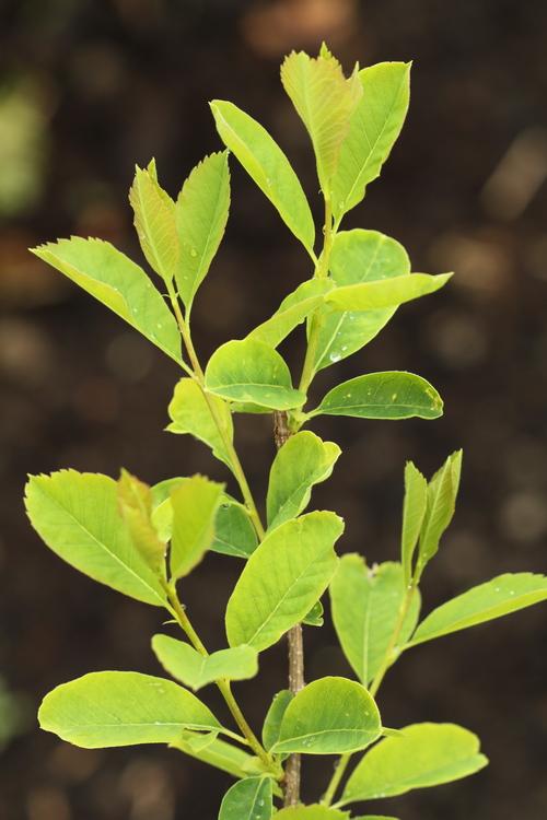 Exochorda giraldii var wilsonii Linders Plantskola Li_52834_resize