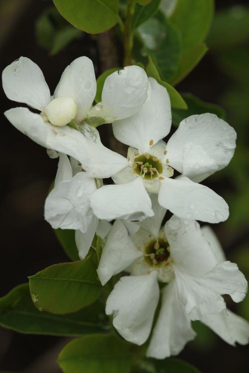 Exochorda giraldii var wilsonii Linders Plantskola Li_52835_resize