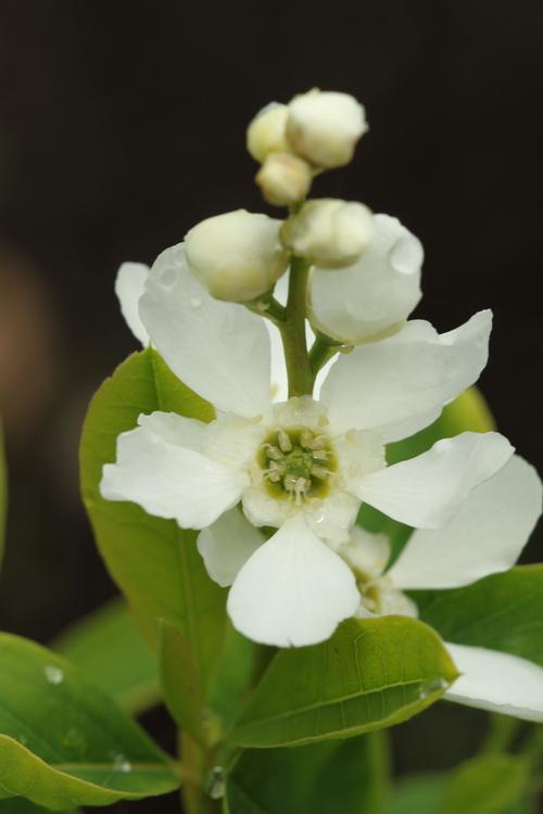 Exochorda giraldii var wilsonii Linders Plantskola Li_52837_resize