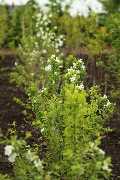 Exochorda giraldii var wilsonii Linders Plantskola Li_52841_resize