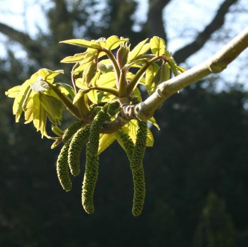 Juglans ailanthifolia hanblomning
