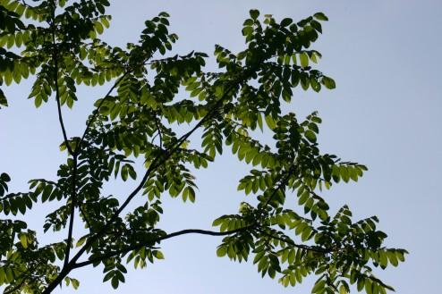 Juglans ailanthifolia Linders Plantskola 4130