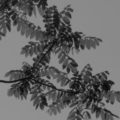 Juglans ailanthifolia Linders Plantskola 4130 bw