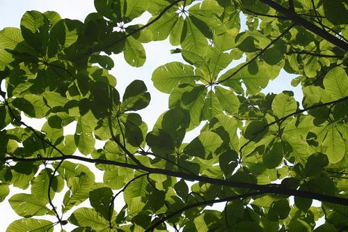 Magnolia-obovata-Linders-Plantskola-70110_resize