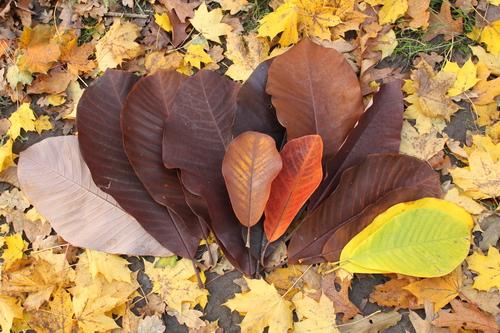 Magnolia-obovata-Linders-Plantskola-70111_resize