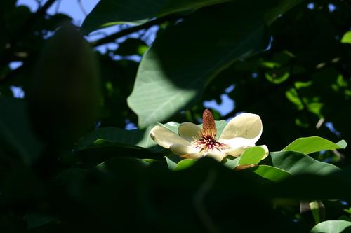 Magnolia obovata