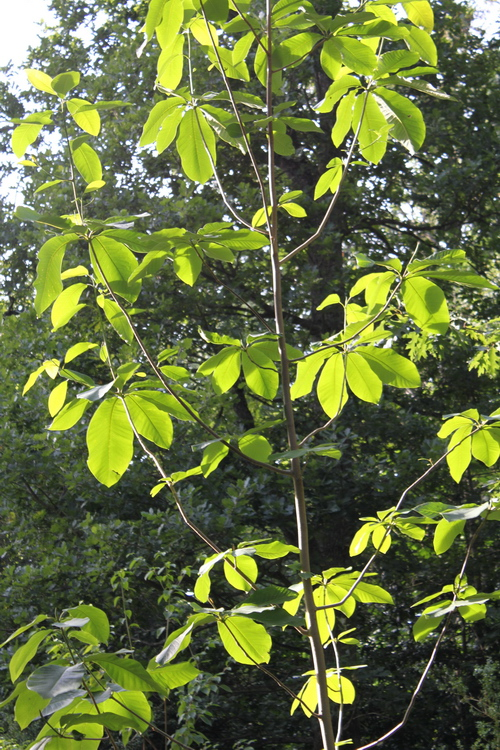 Magnolia-obovata-Linders-Plantskola-70117_resize