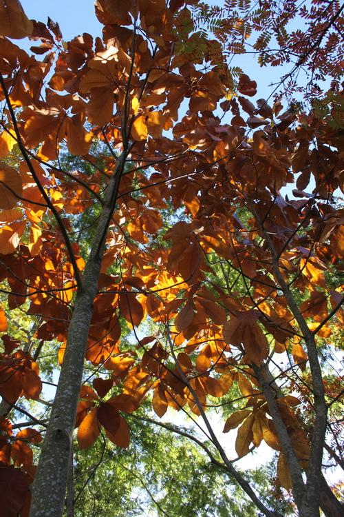 Magnolia-obovata-Linders-Plantskola-70118_resize