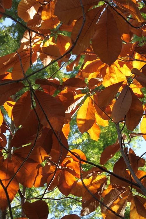 Magnolia-obovata-Linders-Plantskola-70119_resize