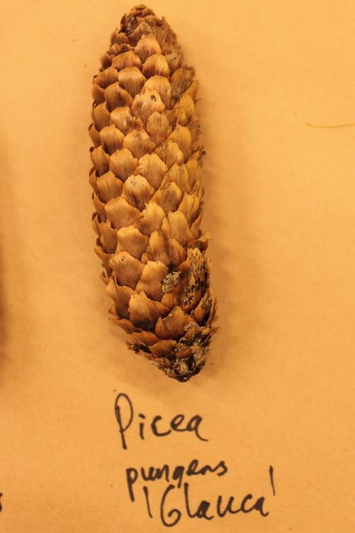 Picea-pungens-var-glauca-IMG_9556_resize