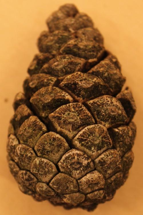 Pinus-nigra-IMG_9557-cut2_resize