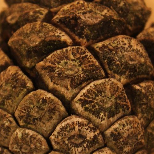 Pinus-nigra-IMG_9557-cut_resize