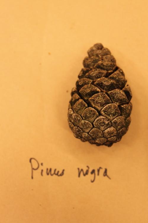Pinus-nigra-IMG_9557_resize