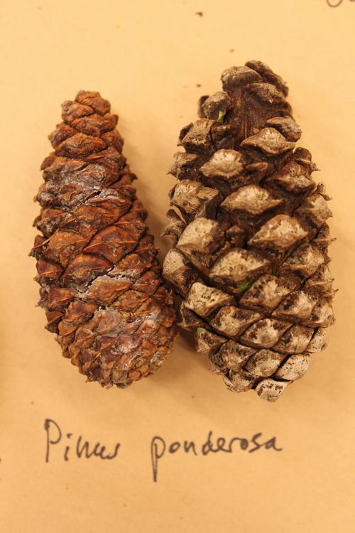 Pinus-ponderosa-IMG_9559_resize