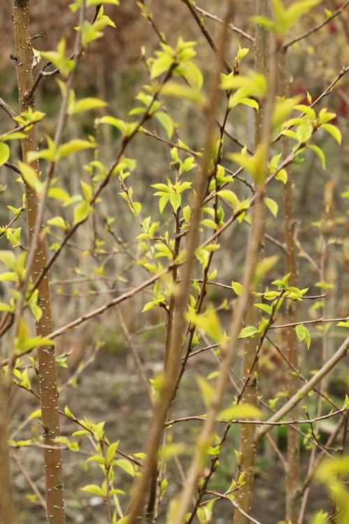 Prunus maackii Li_61449_resize