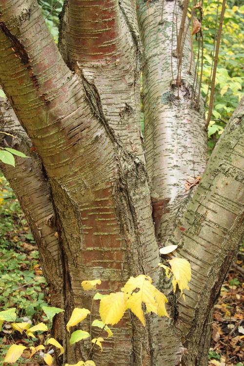 Prunus maackii Li_69870_resize