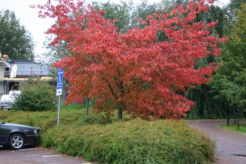 Prunus sargentii Li_35098_resize