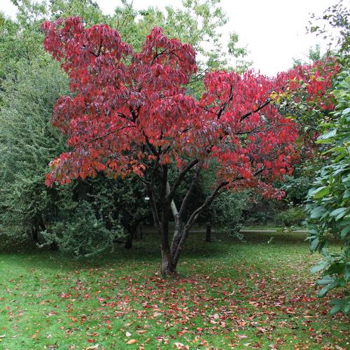 Prunus sargentii Li_63581_resize