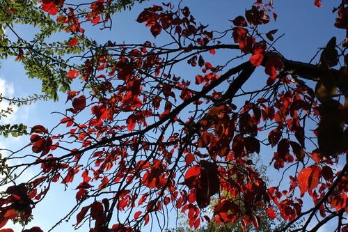Prunus sargentii Li_69193_resize