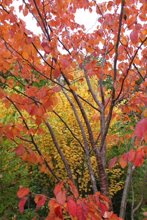 Prunus sargentii Li_69502_resize