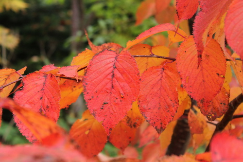 Prunus sargentii Li_69503_resize