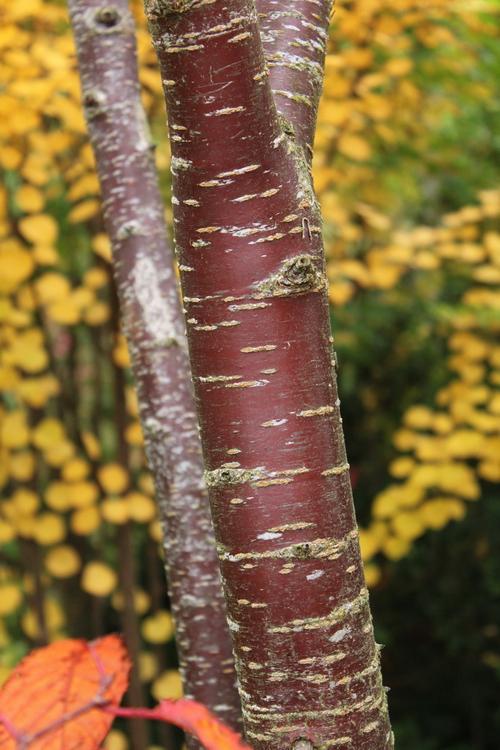 Prunus sargentii Li_69504_resize