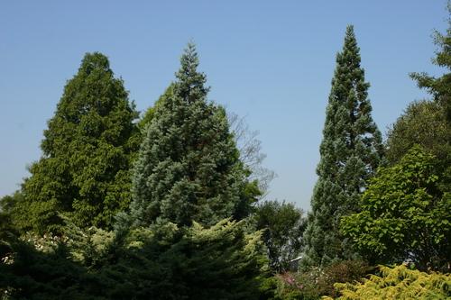 Sequoiadendron giganteum 'Glaucum' t.h.