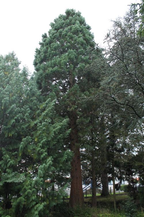 Sequoiadendron-giganteum-Linders-Plantskola-Li_68695_resize