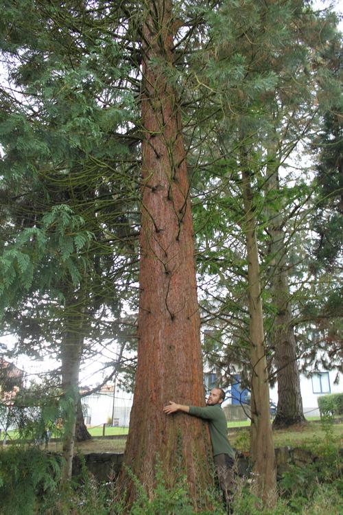 Sequoiadendron-giganteum-Linders-Plantskola-Li_68701_resize