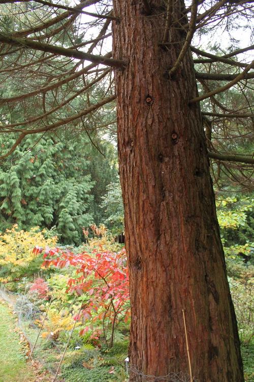 Sequoiadendron-giganteum-Linders-Plantskola-Li_70018_resize